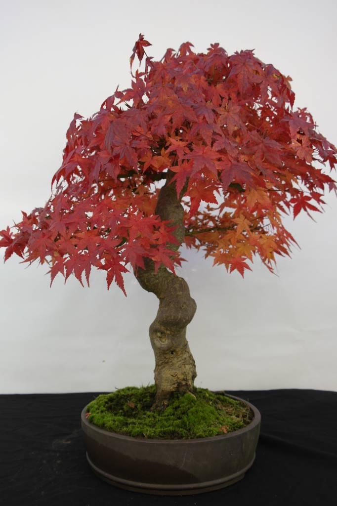 Bonsai Jap. Fächerahorn, Acer Palmatum, nr. 5117