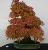 Bonsai Japanese maple, Acer palmatum, no. 5508