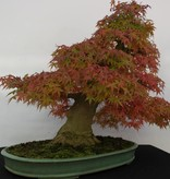 Bonsai Jap. Fächerahorn, Acer palmatum, no. 5508