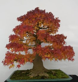 Bonsai Japanese maple, Acer palmatum, no. 5499