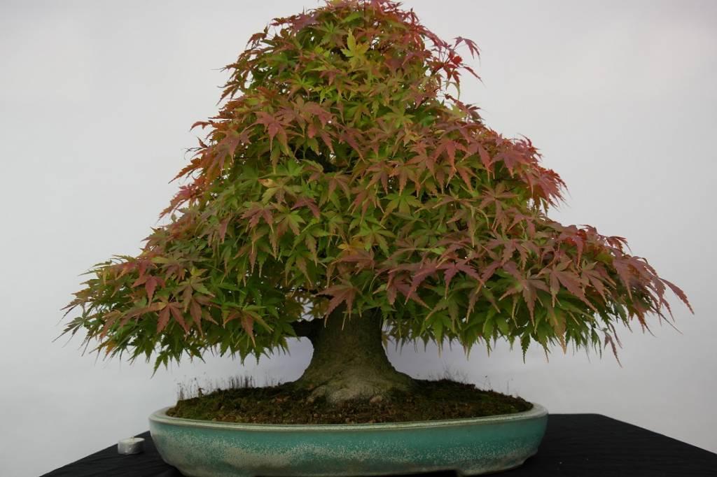 Bonsai Japanese maple, Acer palmatum, no. 5521