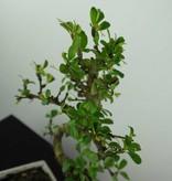 Bonsai Fukien Tea, Carmona macrophylla, no. 6558