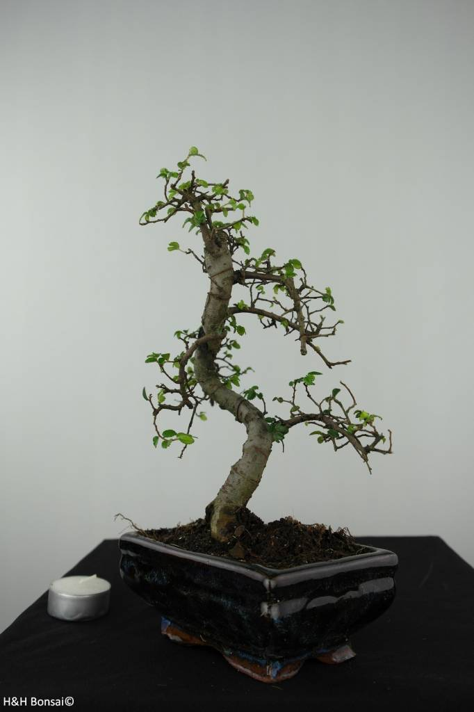 Bonsai Chin. Ulme, Ulmus, nr. 6580