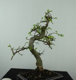 Bonsai Chinese Elm, Ulmus, no. 6581