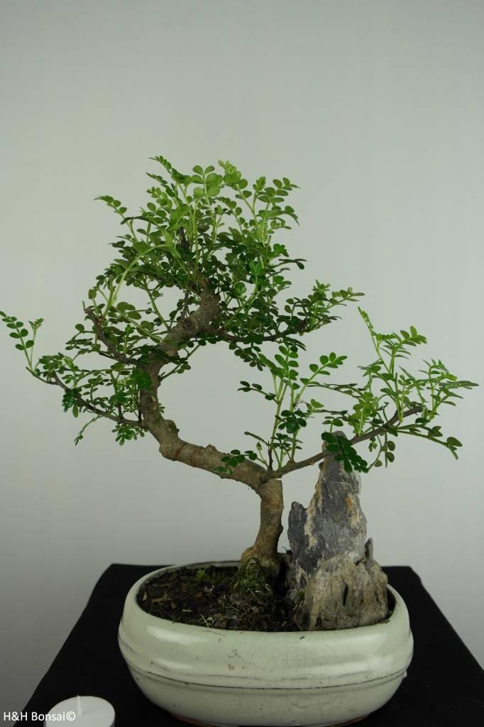 Bonsai Pfefferbaum, Zanthoxylum piperitum, nr. 6665