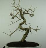 Bonsai Ash tree, Fraxinus sp., no. 6731