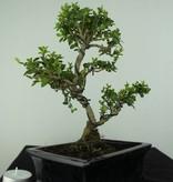 Bonsai Japanese Holly, Ilex crenata, no. 6747