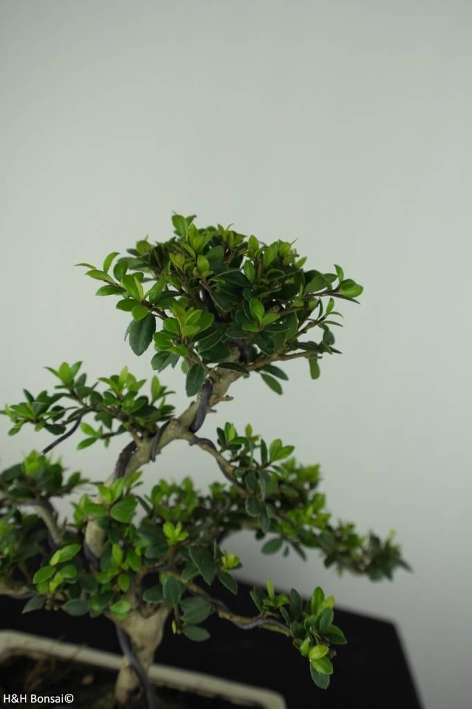 Bonsai Japanische Stechpalme, Ilex crenata, nr. 6751