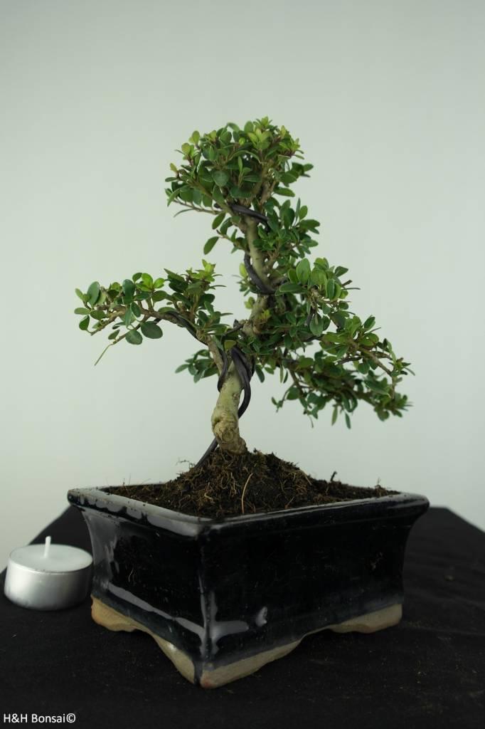Bonsai Japanische Stechpalme, Ilex crenata, nr. 6753