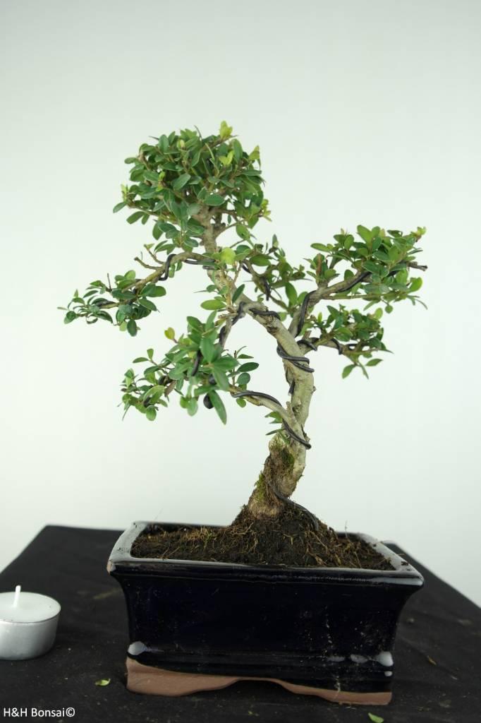 Bonsai Japanische Stechpalme, Ilex crenata, nr. 6756