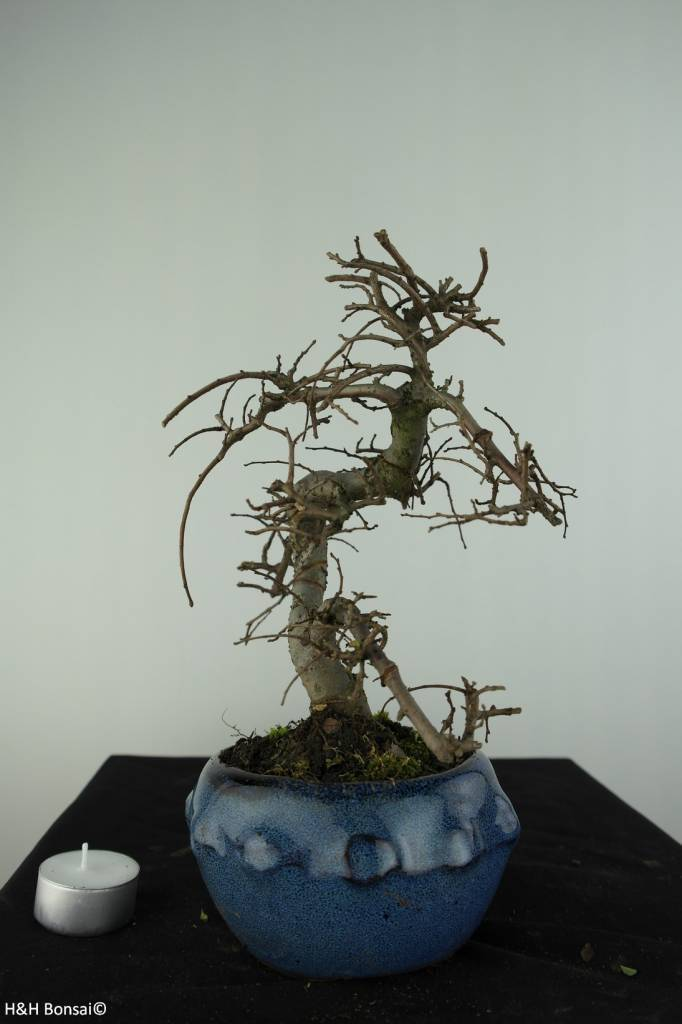 Bonsai Chin. Ulme, Ulmus, nr. 6758