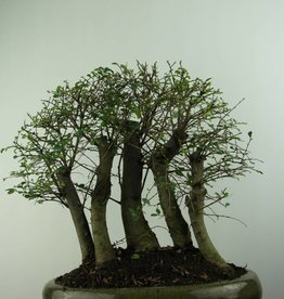 Bonsai Chinese Elm, Ulmus, no. 6825