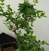 Bonsai Ligustrum nitida, nr. 6836