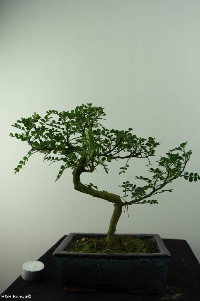 Bonsai Pfefferbaum, Zanthoxylum piperitum, nr. 6841