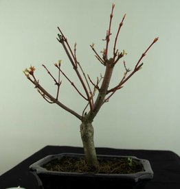 Bonsai Japanese maple, Acer Palmatum, no. 6937