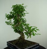 Bonsai Ligustrum nitida, nr. 6991