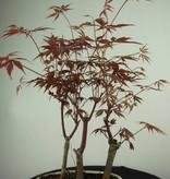 Bonsai Jap. Fächerahorn, Acer palmatum, nr. 7015