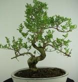 Bonsai Ash tree, Fraxinus sp., no. 6730