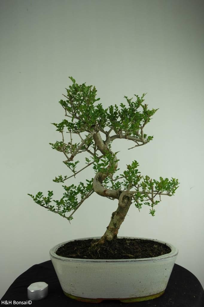 Bonsai Esche, Fraxinus sp., nr. 6731