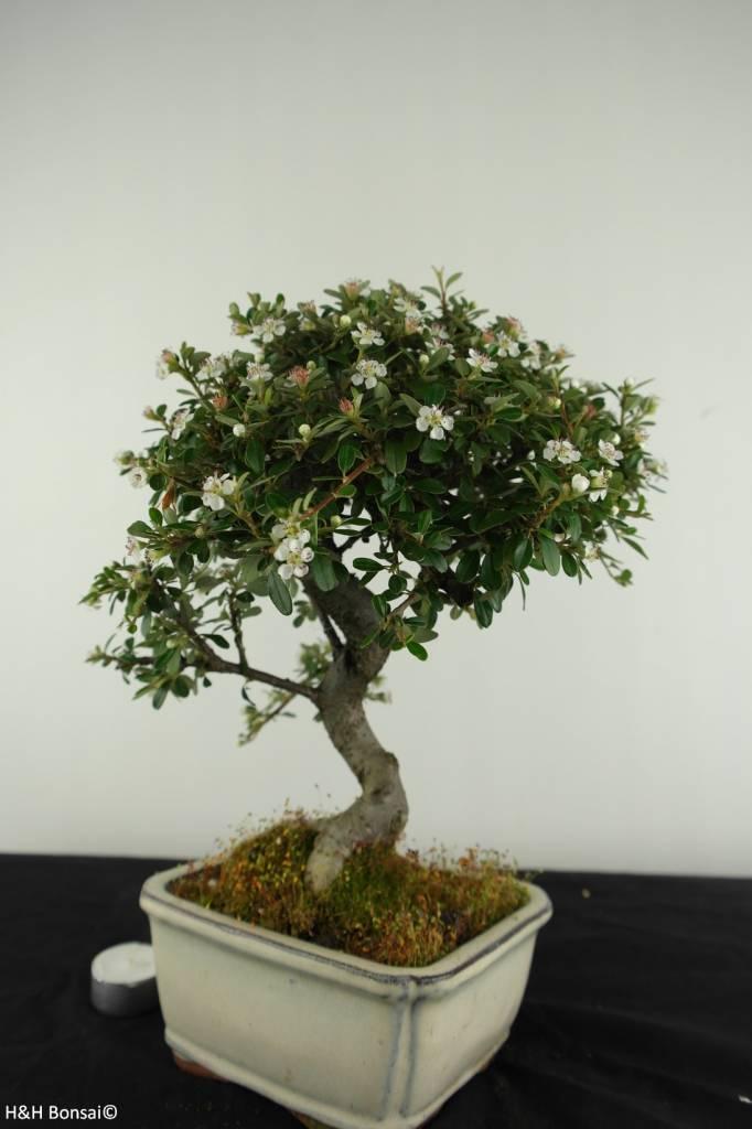 Bonsai Zwergmispel, Cotoneaster, nr. 6615