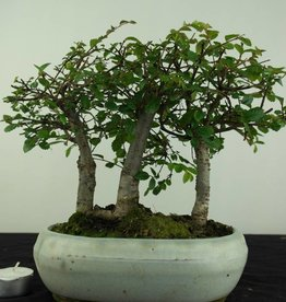 Bonsai Zelkova, no. 6651