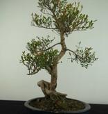 Bonsai Syzygium sp., nr. 6724