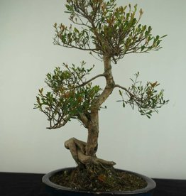 Bonsai Syzygium sp., no. 6724