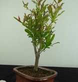 Bonsai Granatapfel, Punica granatum, nr. 6923