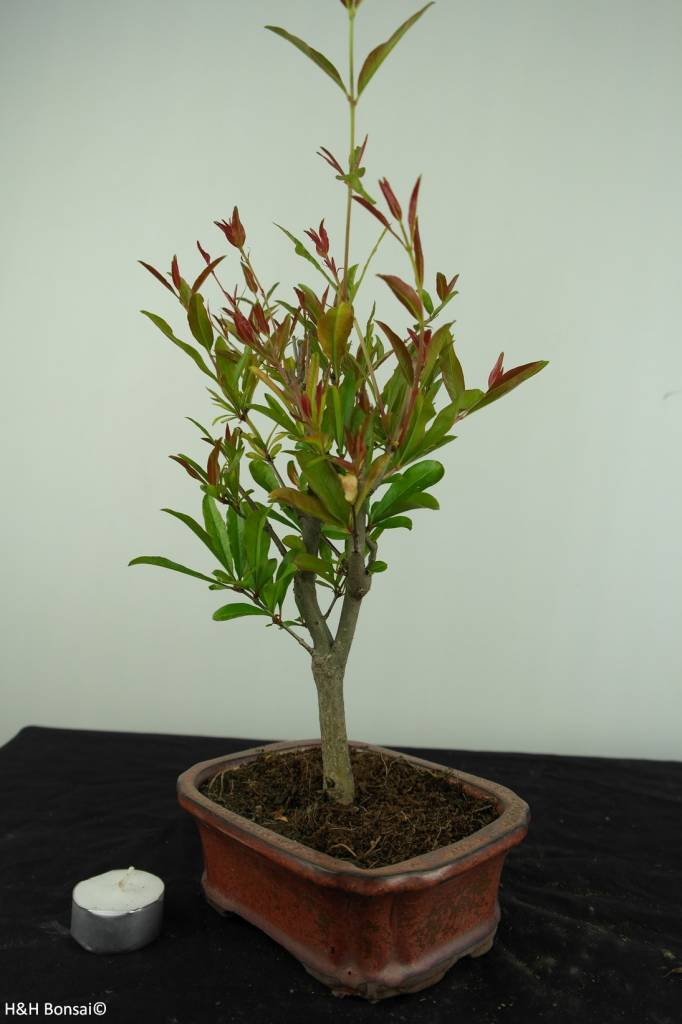 Bonsai Pomegranate, Punica granatum, no. 6923