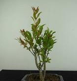 Bonsai Pomegranate, Punica granatum, no. 6924