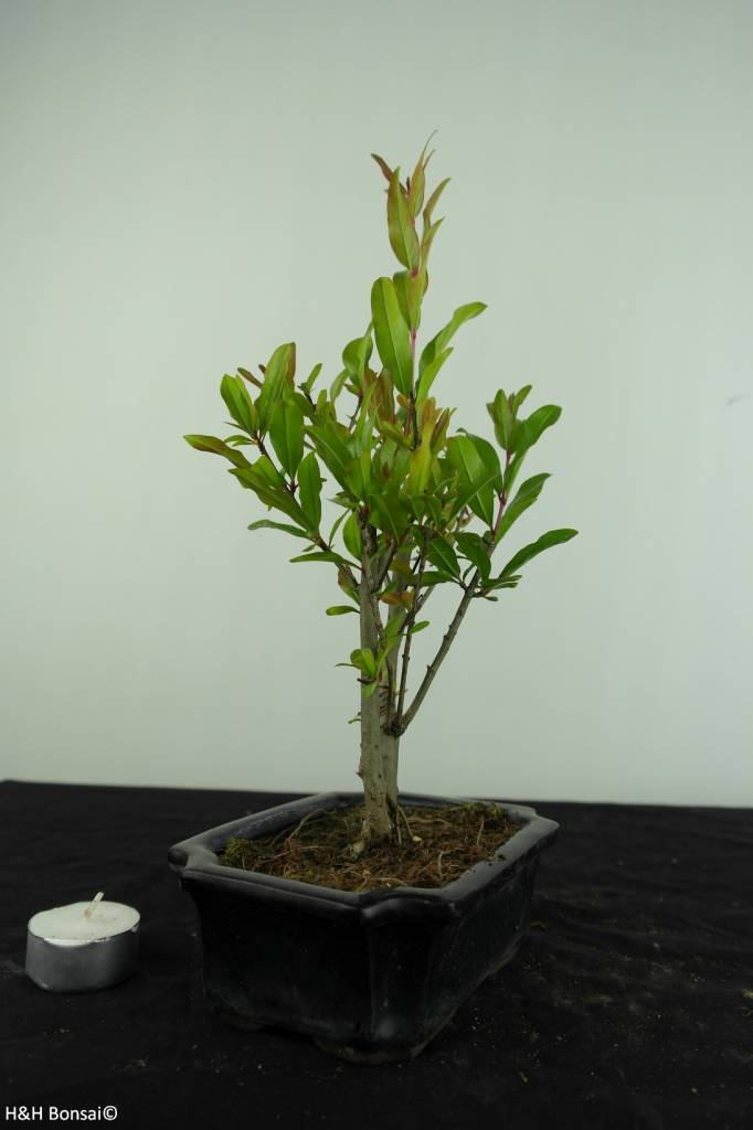 Bonsai Granatapfel, Punica granatum, nr. 6924