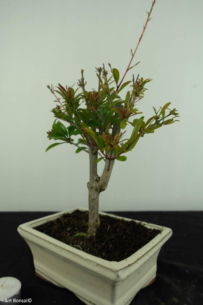 Bonsai Granatapfel, Punica granatum, nr. 6925