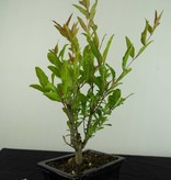Bonsai Granatapfel, Punica granatum, nr. 6926