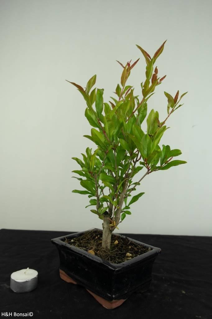 Bonsai Pomegranate, Punica granatum, no. 6926