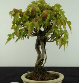 Bonsai Shohin Trident maple, Acer buergerianum, no. 6963
