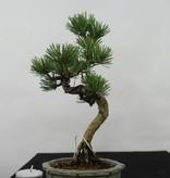 Bonsai Shohin Mädchenkiefer, Pinus pentaphylla, nr. 7054
