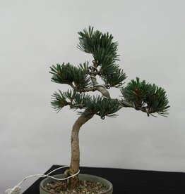 Bonsai Japanese White Pine, Pinus pentaphylla, no. 7061