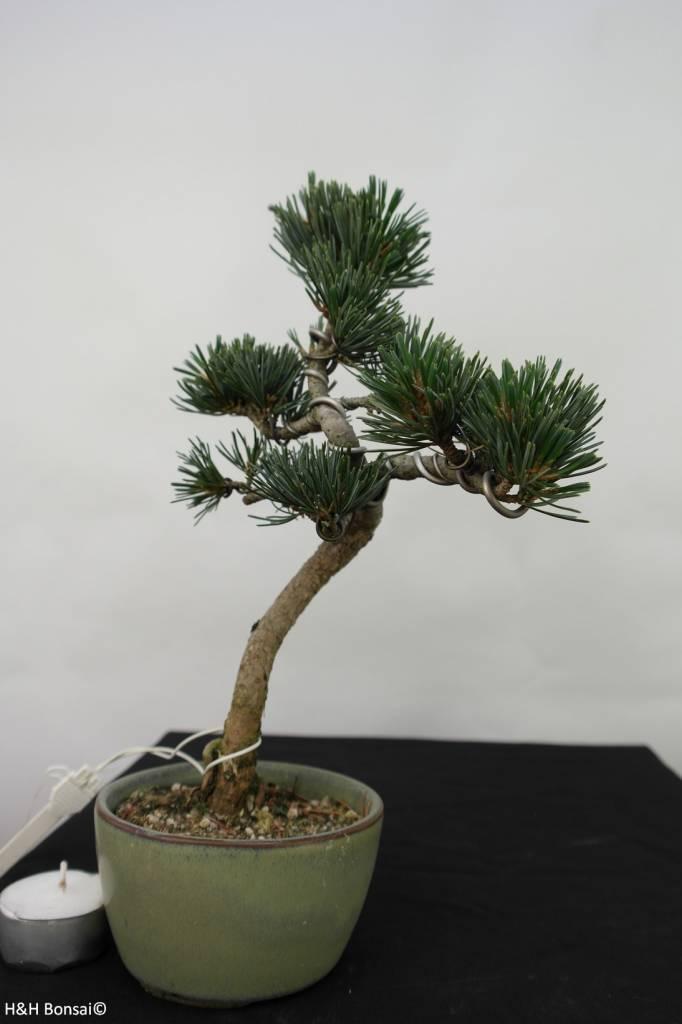 Bonsai Mädchenkiefer, Pinus pentaphylla, nr. 7061