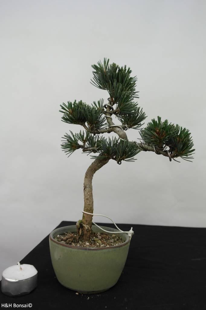 Bonsai Japanese White Pine, Pinus pentaphylla, no. 7061