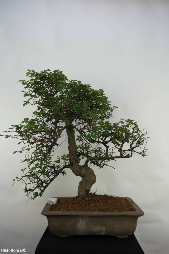 Bonsai Chin. Ulme, Ulmus, nr. 7071