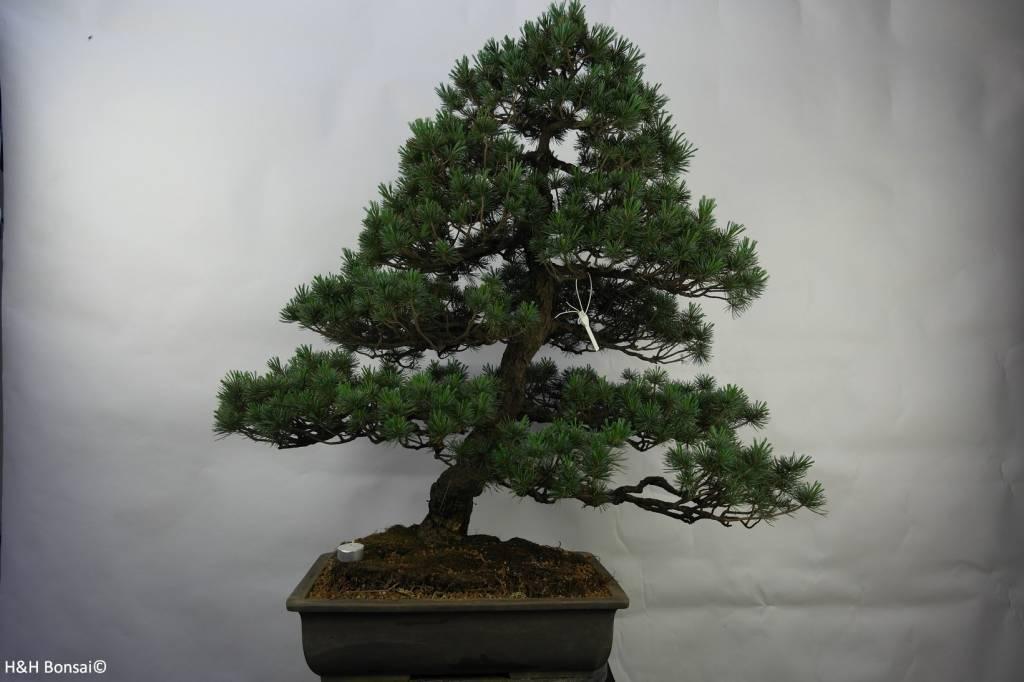 Bonsai Mädchenkiefer, Pinus pentaphylla, nr. 7072