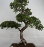 Bonsai Chin. Ulme, Ulmus, nr. 7094