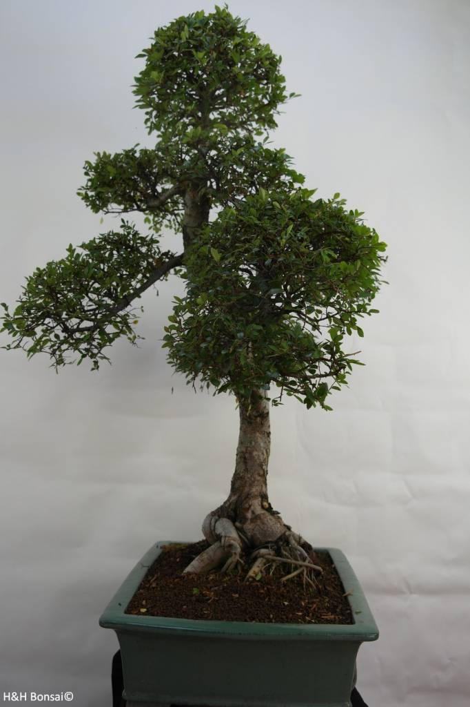Bonsai Chinese Elm, Ulmus, no. 7094
