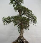Bonsai Chin. Ulme, Ulmus, nr. 7095