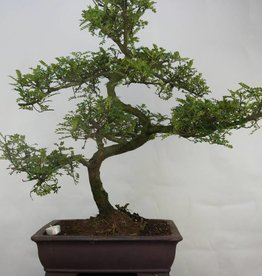 Bonsai Japanese Pepper, Zanthoxylum piperitum, no. 7098
