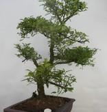 Bonsai Japanese Pepper,Zanthoxylum piperitum, no. 7098