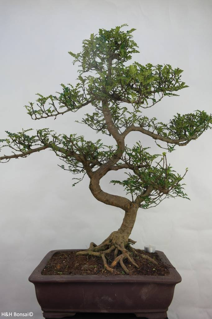 Bonsai Pfefferbaum, Zanthoxylum piperitum, nr. 7099