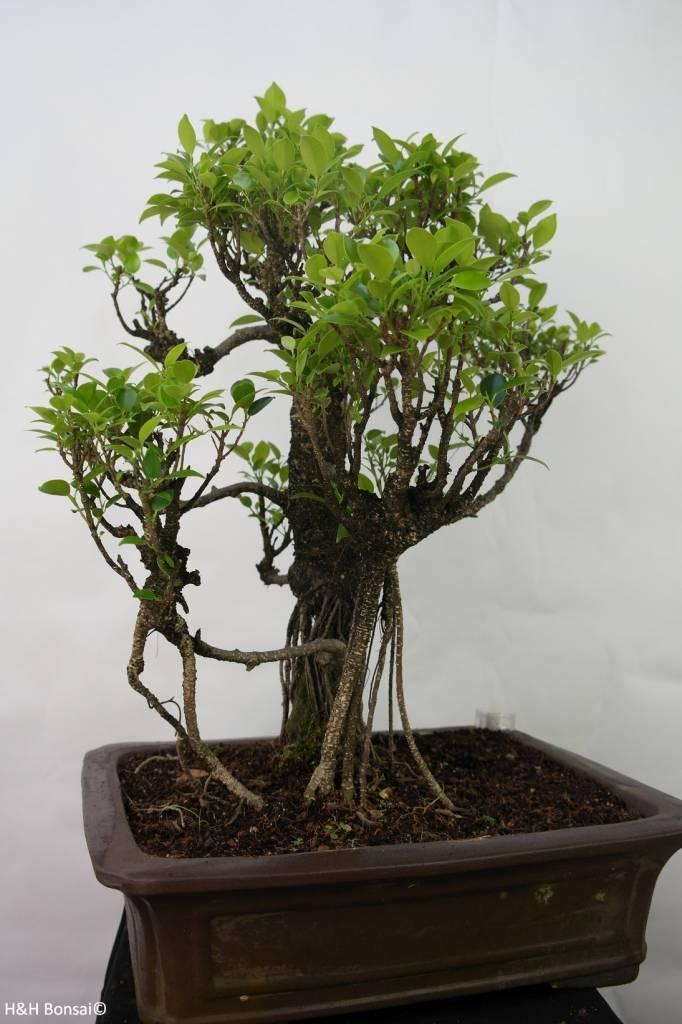 Bonsai Chin. Feigenbaum, Ficus retusa, nr. 7102