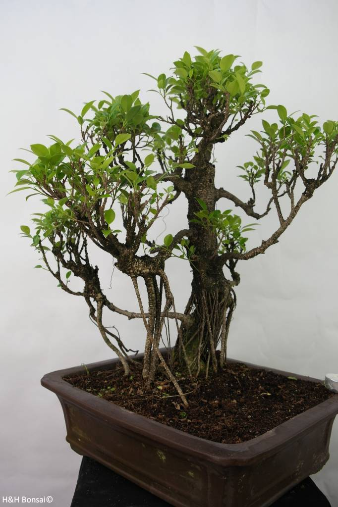 Bonsai Fig tree, Ficus retusa, no. 7102