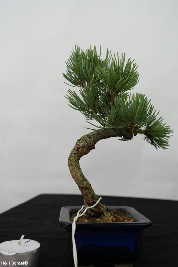 Bonsai Shohin Japanese White Pine, Pinus pentaphylla, no. 7104